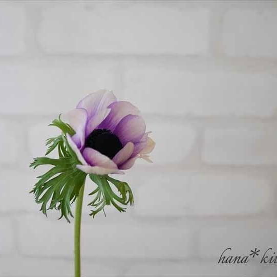 #アネモネ #ポルト 茎の感じ。ふわっとした花びら。 きれいなラベンダー色。うっとり。 #flowers #instaflower #flowerarrangement #花のある生活 #花のある暮らし #フラワーアレンジメント教室 #横浜ハナキッチン #ハナキッチン #横浜フラワーアレンジ #横浜フラワーアレンジ教室 #横浜フラワー教室