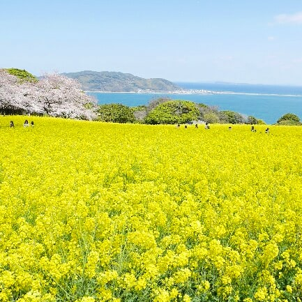 能古島の桜と菜の花